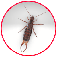 picture of an earwig